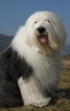 Only 316 old English sheepdog puppies have been registered with the ...